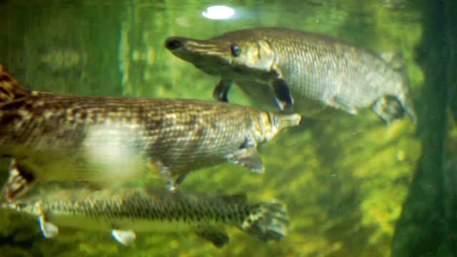 alligator gar fish in the aquarium tank. - aquatic organism stock videos & royalty-free footage