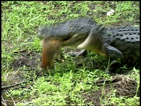 alligator getting raccoon in mouth then walking away, brazos bend state park, texas, usa - uccidere video stock e b–roll
