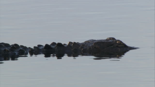 ms alligator head and body visible slightly above water / everglades, florida, usa  - 浮き上がる点の映像素材/bロール