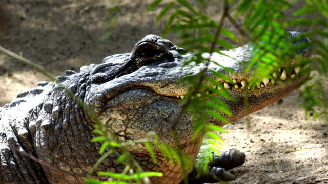 alligator head detail in close range - reptile stock videos & royalty-free footage