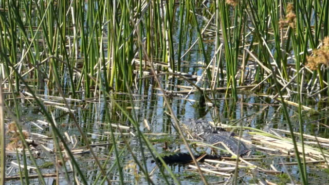 alligator hiding in tall reeds waiting for his lunch - suit of armor stock videos and b-roll footage