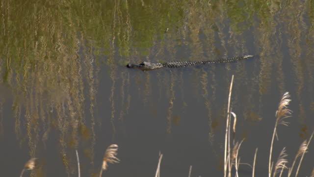 alligator in marsh - american alligator stock videos & royalty-free footage