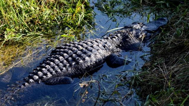 Alligator in den Everglades, Florida, USA