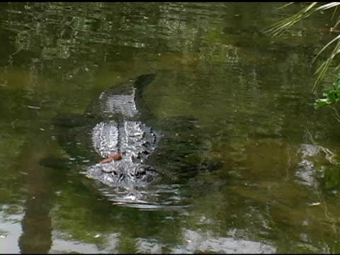 alligator im wasser, nahaufnahme - tierhaut stock-videos und b-roll-filmmaterial
