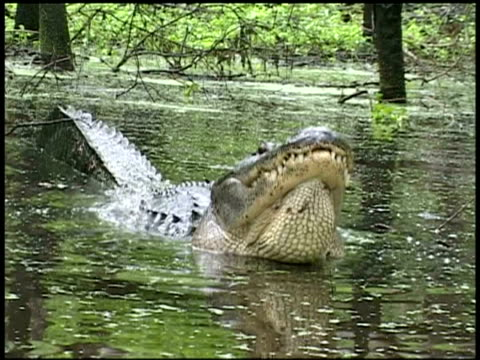 vidéos et rushes de cu alligator in water lifting head and vibrating water from body, brazos bend state park, texas, usa - shaking