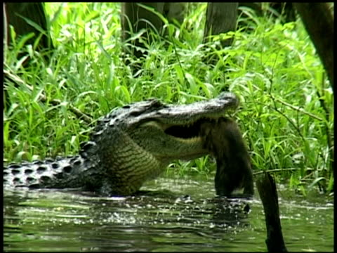 alligator in water with raccoon in mouth, side view, brazos bend state park, texas, usa - alligator stock videos & royalty-free footage