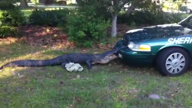 / alligator is latches onto police car with its jaw and won't let go alligator latches onto police car on may 01 2011 in aluchua county florida - landfahrzeug stock-videos und b-roll-filmmaterial