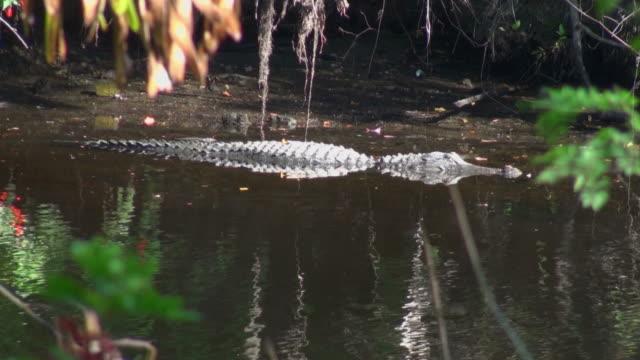アリゲーター mississippiensis では、楽しくてエッジの川 - 動物の色点の映像素材/bロール