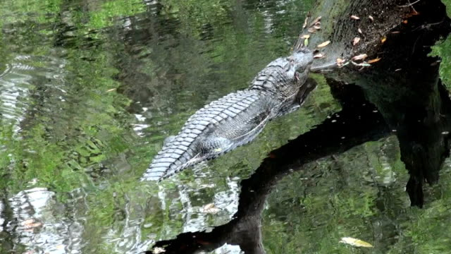 alligator mississippiensis, laying on a tree in the river - pälsteckning bildbanksvideor och videomaterial från bakom kulisserna