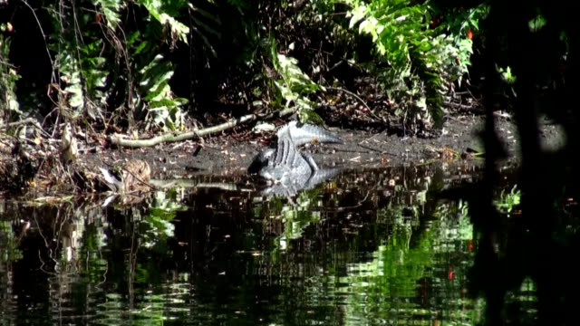 アリゲーター mississippiensis 、休息にエッジの川で晴れた日 - 動物の色点の映像素材/bロール