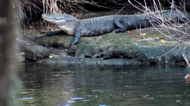 alligator mississippiensis, sunning on the river bank ready to move - animal markings stock videos & royalty-free footage