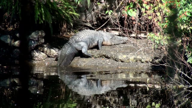 alligator mississippiensis, walks out of river to lay on bank - sunbathing stock videos & royalty-free footage