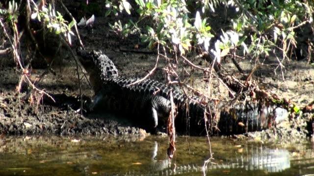 ワニ mississippiensis 頭盛り上がった「ウォーターズエッジ - 動物の色点の映像素材/bロール