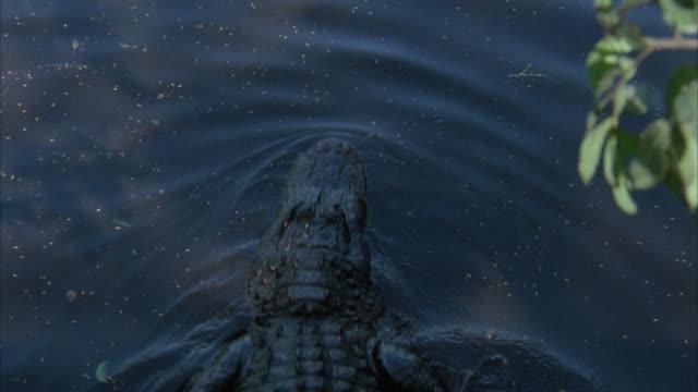HA, PAN alligator moving into swampy water, swimming, Everglades National Park, Florida, USA