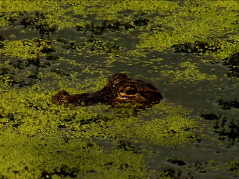 alligator stares with eyes above surface of algae-covered water - alga verde video stock e b–roll