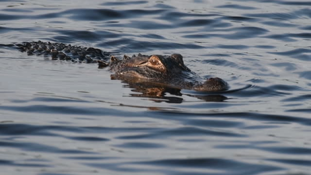 Alligator Swimming in a Florida Lake