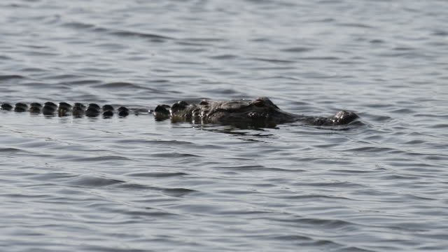 Alligator Swimming in a Lake