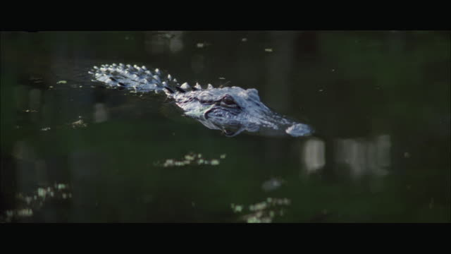 CU Alligator swimming in swamp / Florida, USA
