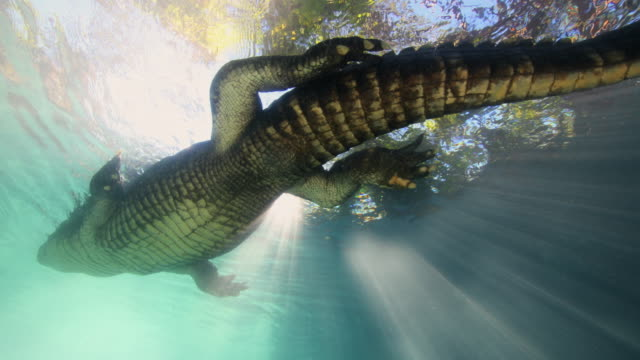 alligator swimming overhead, beautiful sun rays shine down from above - swamp stock videos & royalty-free footage