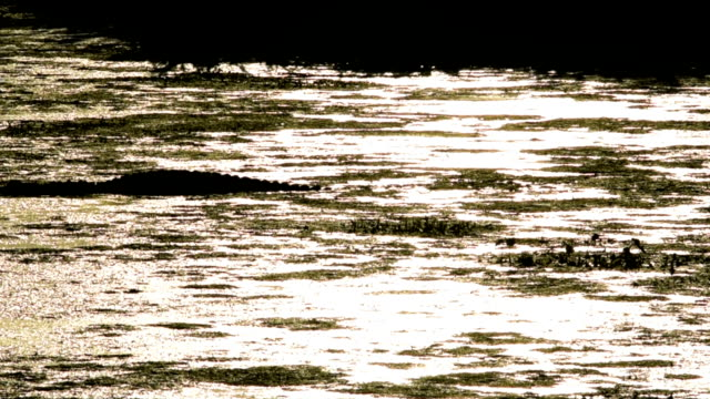 alligator swimming slowly through algae-covered lake - florida us state stock videos & royalty-free footage