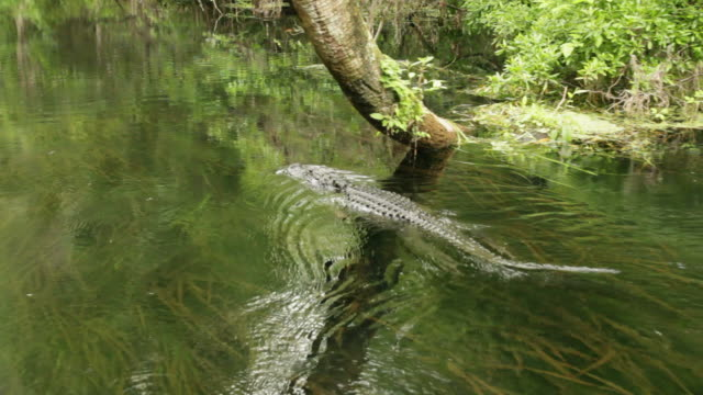 alligator swimming - louisiana stock videos & royalty-free footage