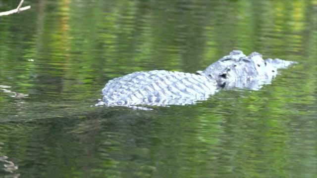 vídeos y material grabado en eventos de stock de alligator swims in creek - salir del agua