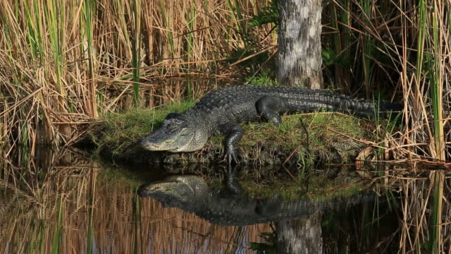 alligator - everglades national park stock videos & royalty-free footage