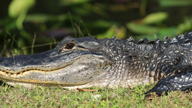alligator - alligator stock videos & royalty-free footage