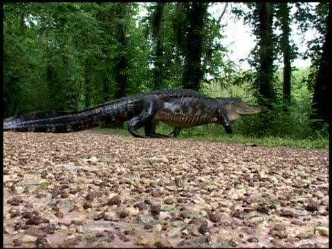 wa alligator walking across road left to right, brazos bend state park, texas, usa - lunghezza video stock e b–roll