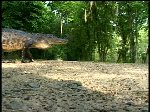 alligator walking across road left to right, brazos bend state park, texas, usa - lunghezza video stock e b–roll