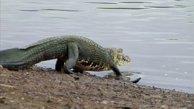 Alligator walking and entering into Amazon river