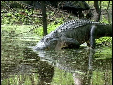 alligator walking into swamp from bank, brazos bend state park, texas, usa - stealth stock videos and b-roll footage