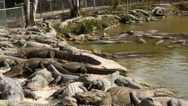 alligators climbing over each other in alligator farm in the everglades, florida, usa - spoonfilm stock-videos und b-roll-filmmaterial