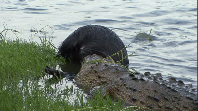 alligators eat a wildebeest near a grassy bank in florida. - alligatore video stock e b–roll