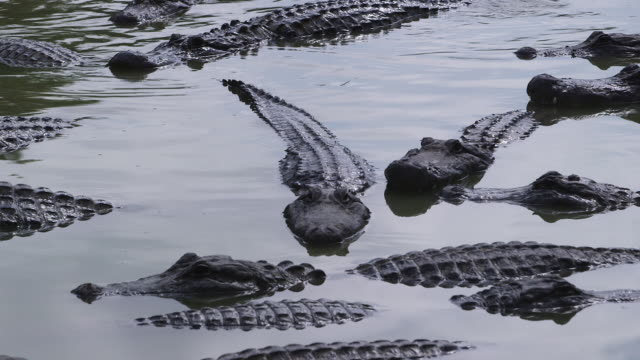 stockvideo's en b-roll-footage met alligators in water, close together w pan - wiese