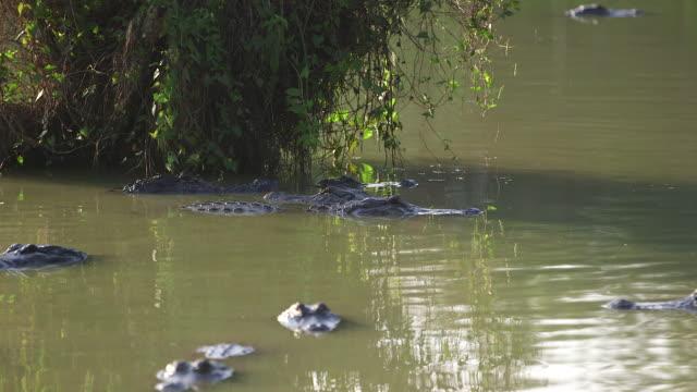alligators in water near tree - wiese video stock e b–roll