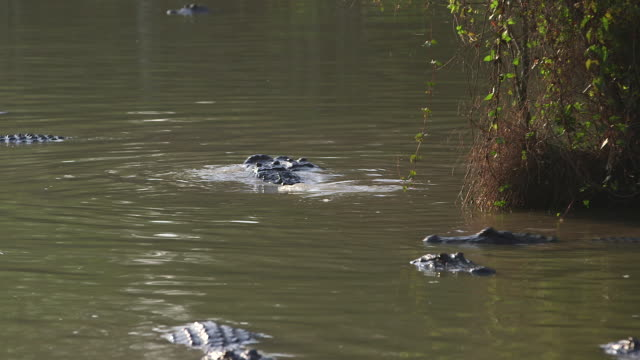 vídeos de stock, filmes e b-roll de alligators in water, one on top - vindo à tona