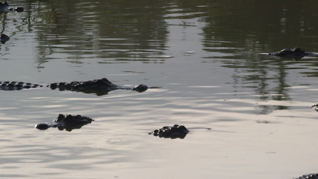 stockvideo's en b-roll-footage met alligators in water, slow moving - wiese