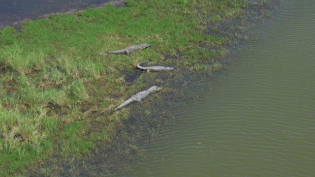 alligators in wetlands - american alligator stock videos & royalty-free footage
