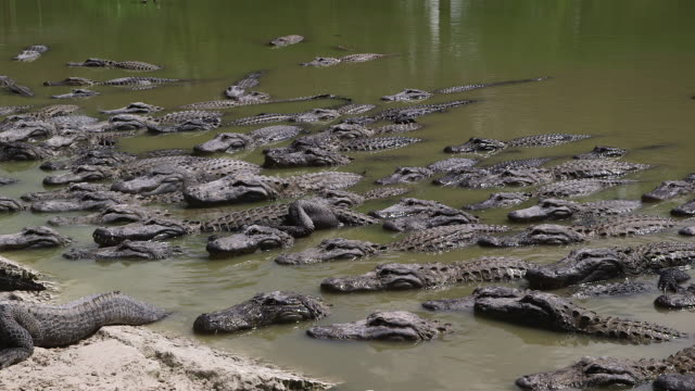 Alligators Lined Up In Water