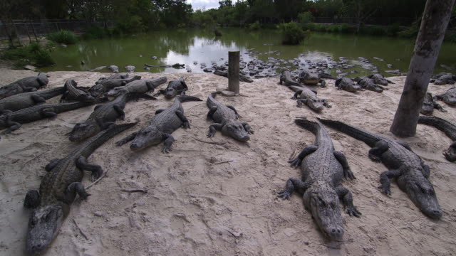 alligators lined up on sand & in water - wiese video stock e b–roll