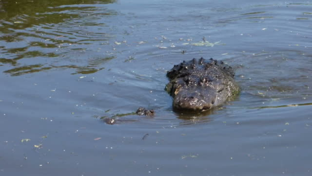 Alligators Mating