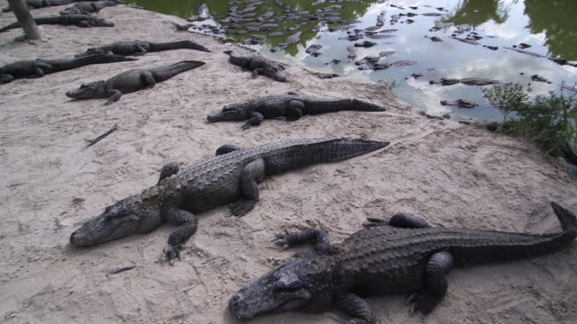 stockvideo's en b-roll-footage met alligators on sand & in water - wiese