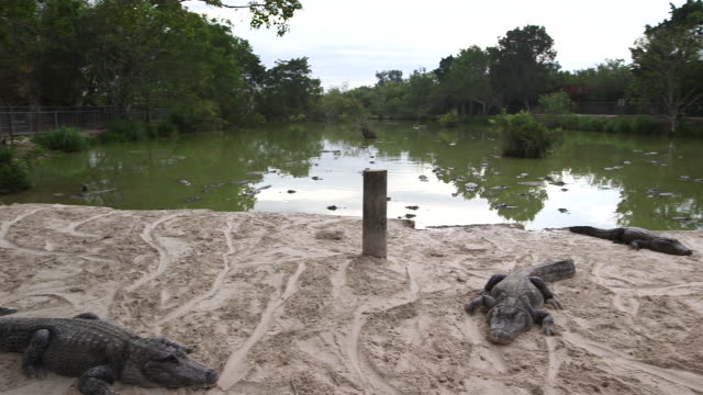 Alligators on sandy beach, wide pan
