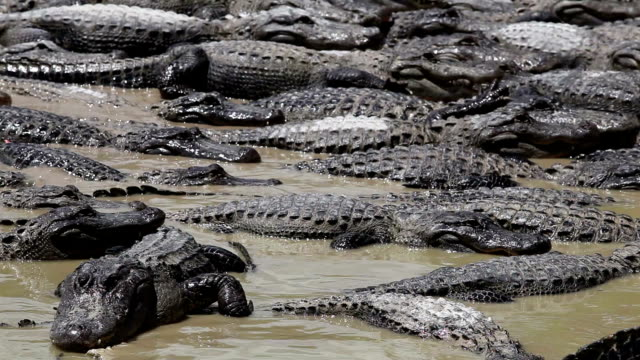 Alligators Party
