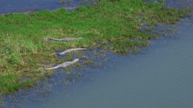 alligators relaxing in marsh - american alligator stock videos & royalty-free footage