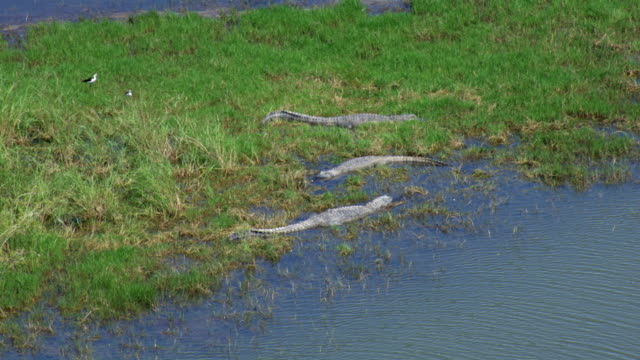 alligators sunning in marshland - american alligator stock videos & royalty-free footage