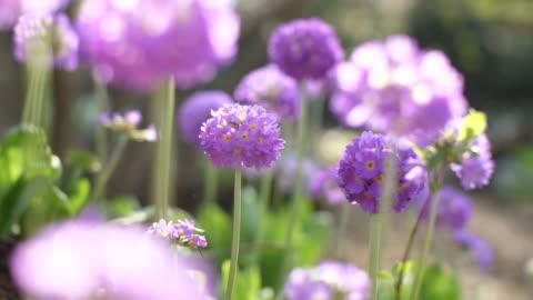 allium schoenoprasum - chives - flower head stock videos & royalty-free footage