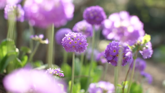allium schoenoprasum - chives - flower head stock videos & royalty-free footage