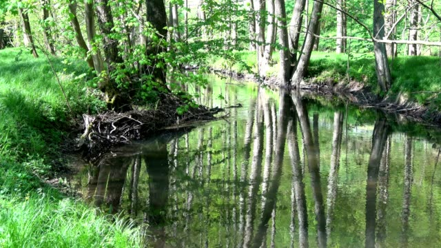 alluvial forest is reflected in the stream - alder tree stock videos & royalty-free footage